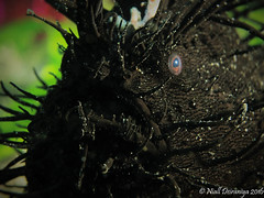 BLACK HAIRY FROGS (Niall Deiraniya Underwater Photography) Tags: frog frogfish anglerfish fish black ugly hair hairy underwater marine