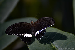Papilio polytes, Common mormon (DiDaDoDeborah) Tags: butterfly butterflies vlinder vlinders vlindorado insect flickrinsects closeupinsect bestinsect white admiral