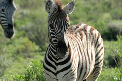 Young Beauty (zenseas : )) Tags: beautiful beauty young zebra zebras plainszebra burchellszebra wild etosha etoshanationalpark safari selfdrive driving selfdrivesafari holiday vacation namibia africa camping equusquagga okaukuejo stripes bokeh