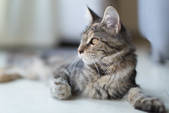 Ziva (Main Coone) (D_Snapper) Tags: cat maine coon kitten 50mm canon 50mmf12l eos 5d3 5dmk3 5d 12 ef50mmf12lusm pet natruallight availablelight indoors indoor mainecoon poes shallowdepthoffield