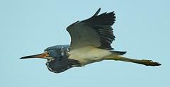 Aug 23 20169474 (Lake Worth) Tags: animal animals bird birdwatcher birds canonef500mmf4lisiiusm canoneos1dxmarkii everglades feathers florida nature outdoor southflorida waterbirds wetlands wildlife wing