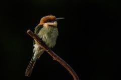 Bird on a branch (Pascal Bernardin) Tags: gupierdeleschenault meropsleschenaulti chestnutheadedbeeeater