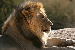 The King (crafty1tutu (Ann)) Tags: travel holiday 2016 southafrica africa kgalagarditransfrontierpark tweerivieren animal lion male blackmanedlion crafty1tutu canon5dmkiii anncameron ef100400mmf4556lisiiusm carnivore naturethroughthelens