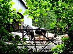Alanfauld Farm (austexican718) Tags: cow udder milk scotland lanarkshire kilsyth farm