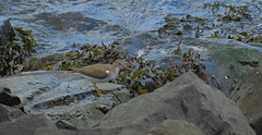 Spotted Sandpiper (Keith Michael NYC (2 Million+ Views)) Tags: libertystatepark newjersey nj