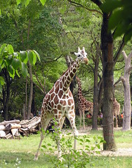 Brookfield Zoo Giraffe (Vinny Gragg) Tags: brookfieldzoo zoo brookfieldillinois brookfield illinois animals giraffes zoos tree trees leaf leafs