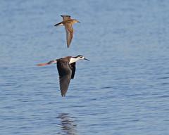 """Flying with a Wingman"" (Keith Carlson) Tags: bif shorebirds"