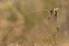 Balanoire. (bertolinijacques) Tags: macro proxy insectes papillons papiliomachaon composition gramines tonschauds pentax k3300 da