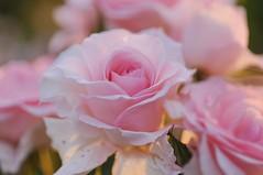 Rose 'Bridal Pink' raised in USA (naruo0720) Tags: rose americanrose bridalpink       macro bokeh   americanrosecollection