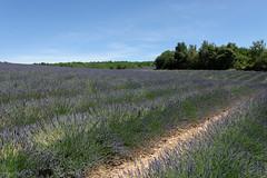Valensole 09 (mpetr1960) Tags: valensole france europe eu outdoor grass field lavender tree sky nikon