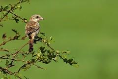 Juvenile Woodchat Shrike (Ady G.) Tags: rspb woodchat shrike dorset canon 1d4 woodchatshrike