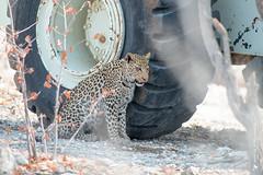DSC_3798.JPG (manuel.schellenberg) Tags: namibia animal etosha nationalpark leopard