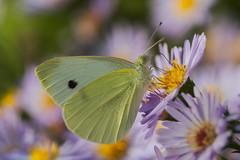 Pieris rapae (JoseDelgar) Tags: josedelgar insecto mariposa pierisrapae coth alittlebeauty coth5 fantasticnature contactgroups sunrays5