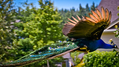 """In Flight"" - Stray Peacocks in our neighborhood (Sathesh Jefferson) Tags: birds nikon peacock pacificnorthwest 18200mm jeffys flyingpeacock d5100 satheshjefferson"