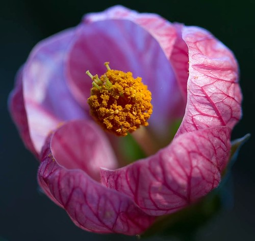 Pink Flowering Maple, or Abutilon, or Chinese Lantern