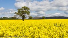 Rape Fields and Titterstone Clee (Jon Hodgson Photography) Tags: england tree field yellow rural landscape countryside shropshire vibrant sunny farmland rape crops lonetree 2012 cleehill titterstoneclee titterstone