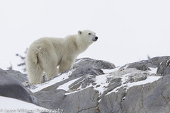 """Polar Bear in Churchill along the Hudson Bay. • <a style=""""font-size:0.8em;"""" href=""""http://www.flickr.com/photos/92120860@N06/8454775426/"""" target=""""_blank"""">View on Flickr</a>"""