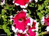 Hunter Valley Gardens (pat.bluey) Tags: flowers macro australia newsouthwales 1001nights pinkwhite huntervalleygardens flickraward amazingdetails 1001nightsmagiccity hennysgardens