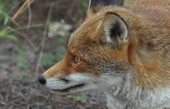 ricordi d'estate (sermatimati) Tags: sea italy parco nikon holidays italia mare free fox tuscany toscana vacanze volpe beachholiday libera sermatimati