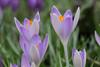 Crocuses (Graham Dash) Tags: flowers macro crocuses floralappreciation tamron90mm28macro