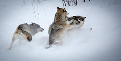 Wolves Fighting (CecilieSonstebyPhotography) Tags: animal animals canon wolf teeth ngc grin wolves markiii ef70200mmf4lisusm