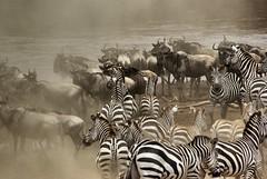 The great Migration in the Masai Mara (Sallyrango) Tags: africa kenya wildlife ngc safari gnus wildebeest zebras masaimara greatmigration africanwildlife