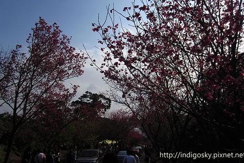 北投賞櫻-IMG_8513