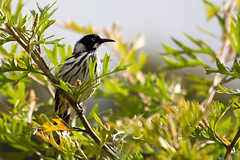 New Holland Honeyeater 2013-02-12 (_MG_0318) (ajhaysom) Tags: australia lorne australianbirds newhollandhoneyeater phylidonyrisnovaehollandiae lemonadecreekcottages