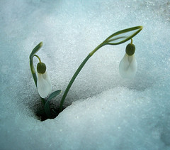 CIMG1862 snowdrops (pinktigger) Tags: winter white flower nature snowdrops naturesfinest bucaneve