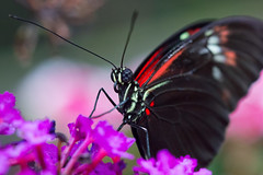 Butterfly on Purple (Explore 02/20/13) (Bob Decker) Tags: