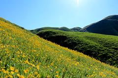 Wild Flowers Wind Wolves (socaltoto11) Tags: california wildflowers maricopa windwolvespreserve kerncountycalifornia