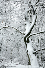 Snow tree (Bianca Valkenier PhotoArt) Tags: winter snow forest season bomen sneeuw nederland natuur bos winters landschap winterscape kou koud gelderland sneeuwvlokken seizoen winterlandschap sfeervol wolfheze winterweer besneeuwd sneeuwoverlast gelderlslandschap