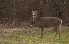 Morning visitor (beingbailey) Tags: morning winter nature canon backyard deer naturethroughthelens