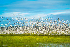 Snow Geese - The Migrators (SaraiRachel) Tags: birds birding washingtonstate pnw birdwatching flockofbirds snowgeese camanoisland portsusan birdsmigrating snowgeesefestival nikon1j1 stanwoon