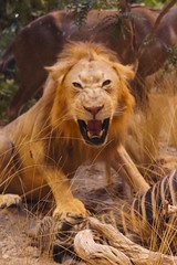 Lion Kill (AndersHolvickThomas) Tags: illustration photo kill sony lion zebra cabelas hunt taxodermy nex5