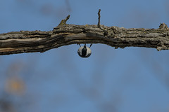 Nuthatch_43029.jpg (Mully410 * Images) Tags: bird birds work upsidedown birding photowalk nuthatch birdwatching whitebreastednuthatch birder burdr