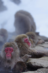 Hot Spring Monkeys (edamame note) Tags: park winter wild baby snow hot nature wet face animal japanese monkey spring bath child pentax wildlife mother fluffy soak planet take bathe onsen koen spa 800 jigokudani macaque snowmonkey rotenburo 897 yaen