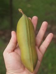 Castanospermum australe (plant.nerd) Tags: blackbean fabaceae castanospermumaustrale castanospermum arfp nswrfp qrfp arffs greenarffs tropicalarf subtropicalarf