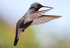 3022 (fpizarro) Tags: minasgerais green hummingbird mg belohorizonte beijaflor bh colibri vrde fpizarro