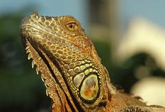 Iguanidae Sachsen Reptilia Iguanidae