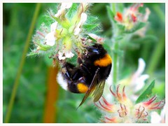 Bumblebee (mibric) Tags: nature animal fleurs bumblebee animaux bourdon
