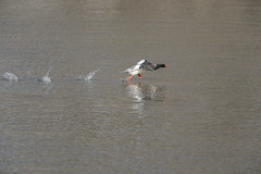 Take-Off_44188.jpg (Mully410 * Images) Tags: bird water birds river duck birding birdsinflight fowl waterfowl takeoff birdwatching birder commonmerganser merganser burdr mrvnwr minnesotarivervalleynationalwildliferefuge