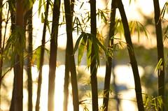 View Through Bamboo (Bo Chambers) Tags: sun sunlight plant green water backlight reflecting warm florida bokeh warmth sunny stuart bamboo tropical backlighting shepardpark