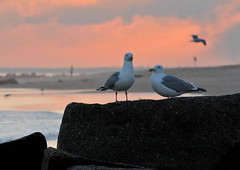 Gulls On the Rocks (HorsePunchKid) Tags: taxonomy:class=aves taxonomy:kingdom=animalia taxonomy:phylum=chordata taxonomy:family=laridae taxonomy:order=charadriiformes taxonomy:claderoot=animalia clade:Animalia=chordata clade:Chordata=aves taxonomy:common=gullsandallies taxonomy:eolid=8001 clade:Aves=charadriiformes clade:Charadriiformes=laridae