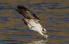Osprey just before Impact  (Explored) (ghostrider_200) Tags: nature birds flickr wildlife diving raptors osprey avian birdofprey bif hawks fishhawk seahawk jordanlake birdwatchers avianexcellence canon7d ospreydiving