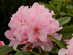 Hard times will always reveal true friends. (careth@2012) Tags: flowers rhododendron flowersonflickr