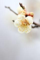 Japanese apricot (konatu411) Tags: flower macro nature japan canon apricot sendai   ef100mm