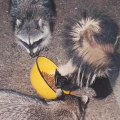 Priority Visitor (alasam) Tags: white black nature animal wildanimal visitors skunk raccoons drydogfood