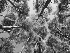 Bosque (patataasada) Tags: trees bw byn blancoynegro forest rboles bosque contrapicado