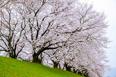 / Sakura in a cloudy day (SILENCE Vincent) Tags: japan kyoto   cherryblossom  sakura gettyimages   kyotoprefecture   otokunidistrict